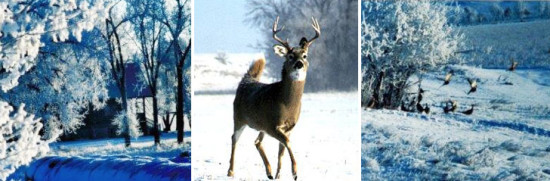 Whitetail Deer in winter